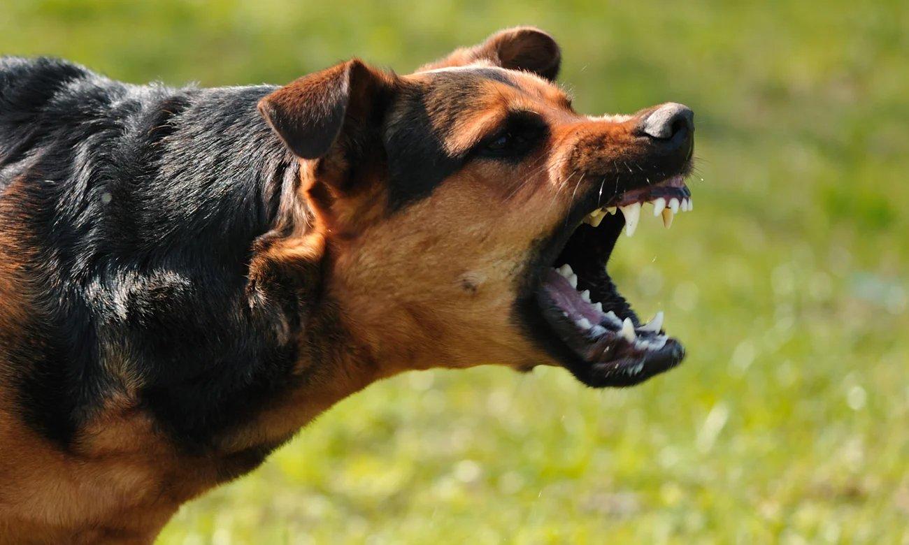 Agresywny pies pokazujący swoje zęby