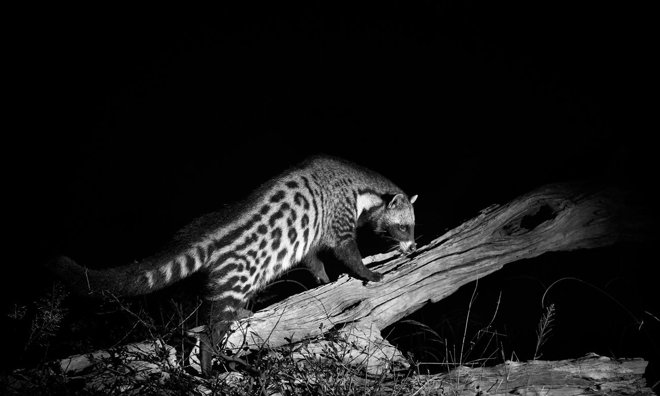 Zwierze w nocy w obiektywie fotopułapki