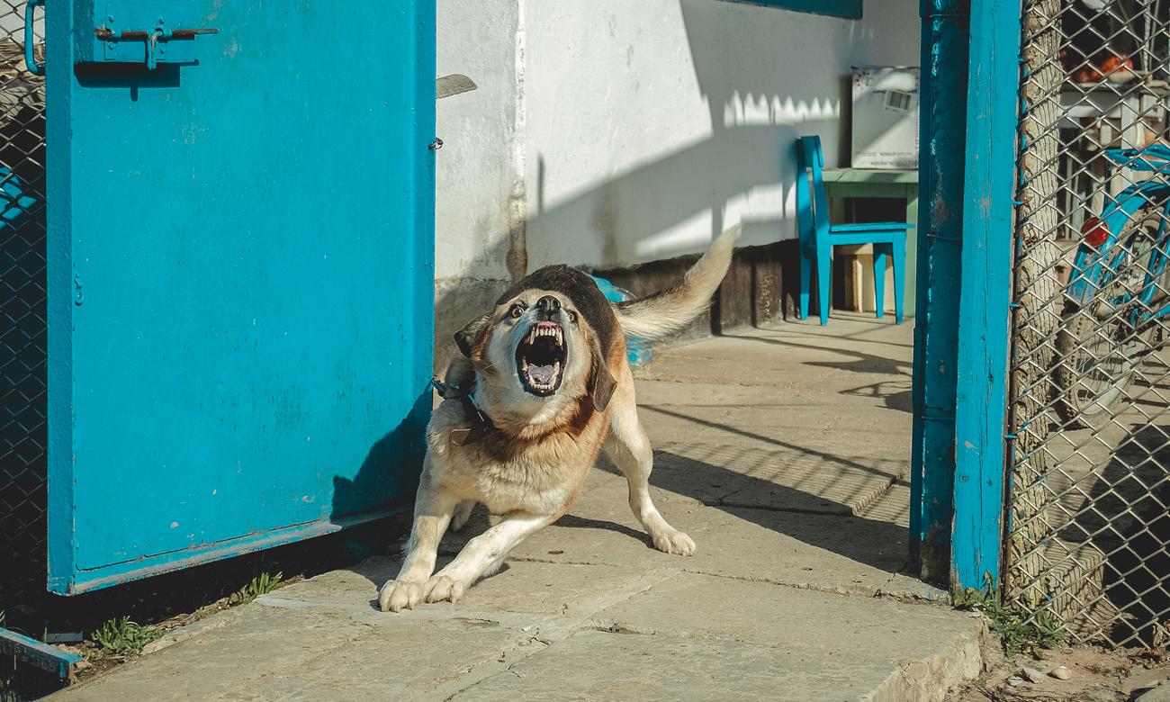 Wściekły pies gotowy do ataku