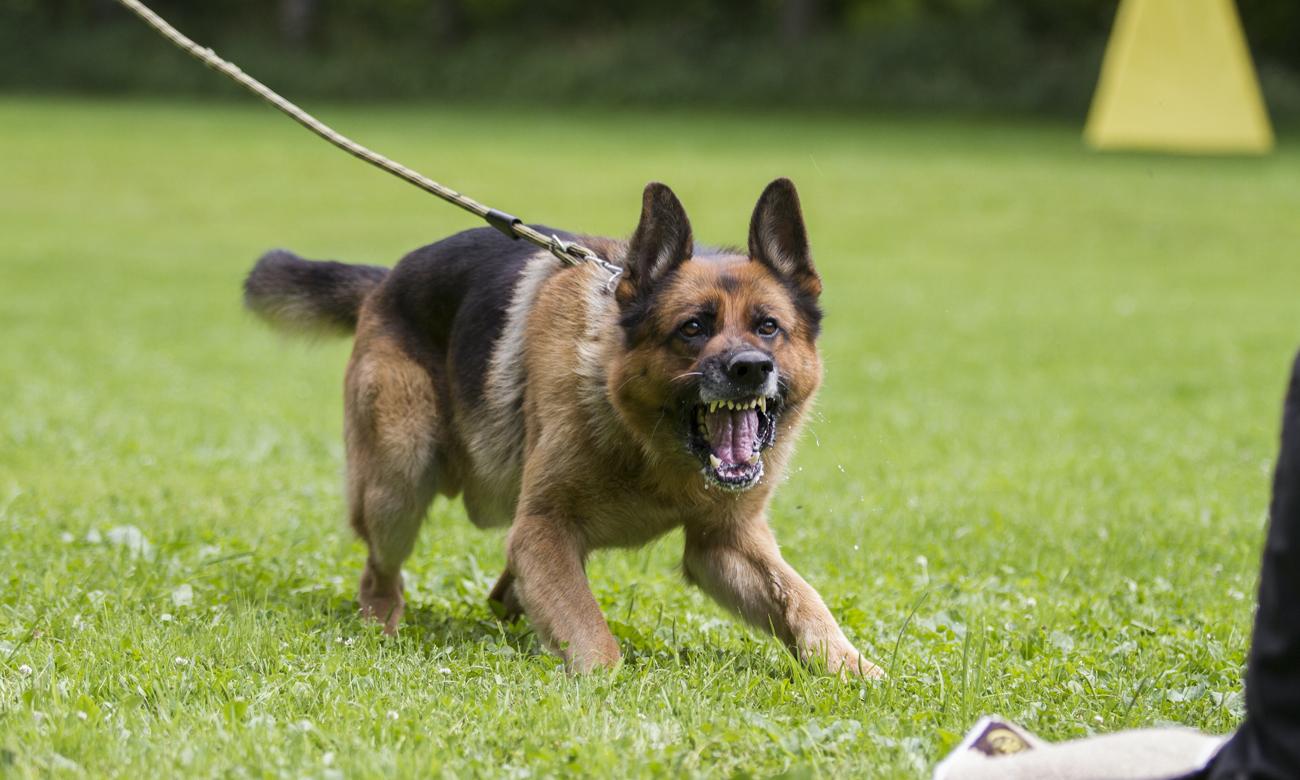 Wściekły pies na smyczy