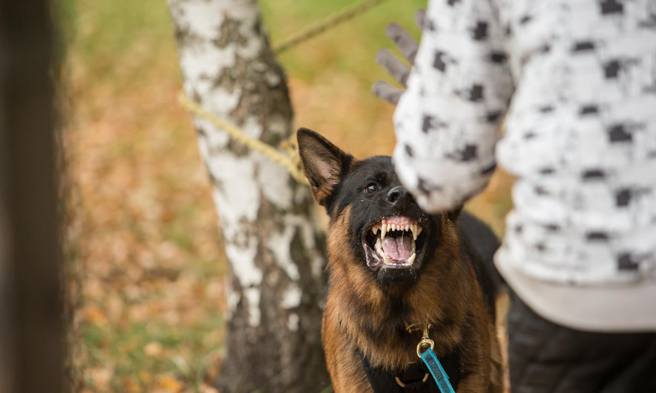 Zły pies atakujący człowieka