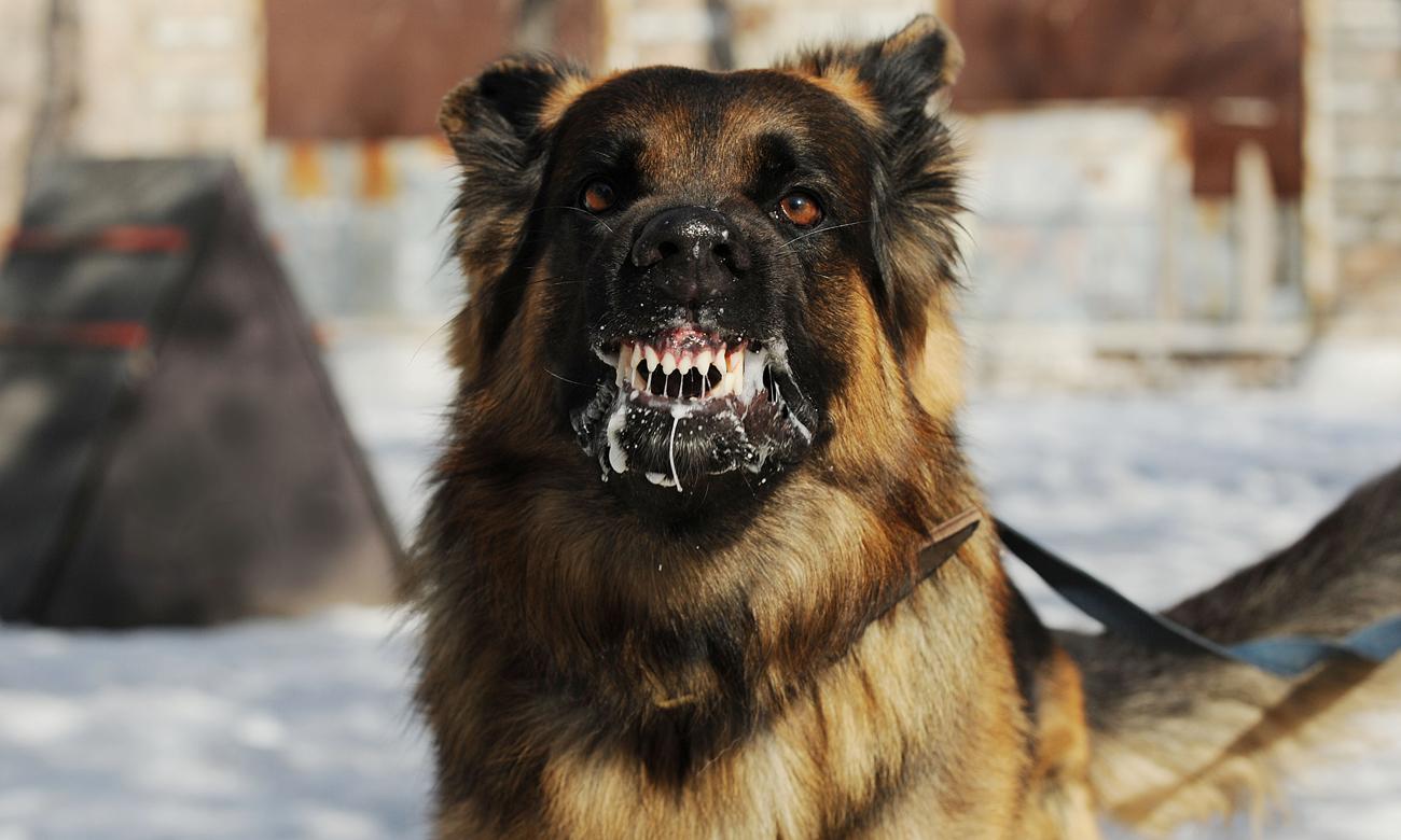 Lekko zdenerwowany pies pokazujący kły